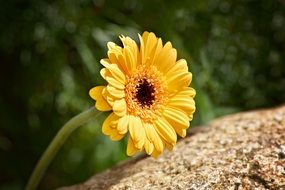 yellow marguerite in summer