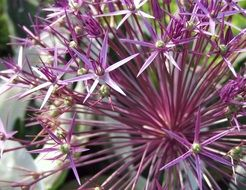 purple ornamental onion blossom