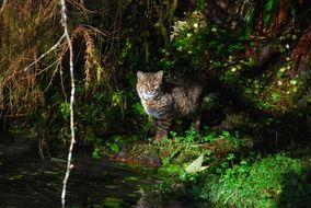 bobcat in the olympic national park