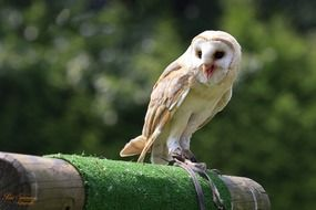 snow owl is a bird of prey