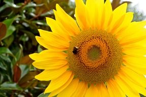 black sunflower on yellow sunflower