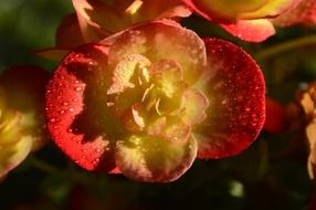 red yellow begonia flower