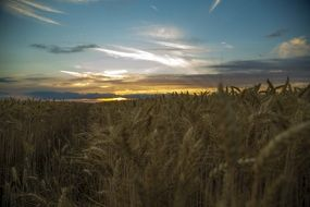 beautiful through wheat sunset in Medina