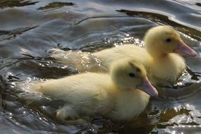 two fluffy duckling