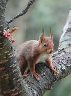 red squirrel on a deciduous tree