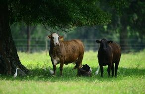 livestock cattle rural farm