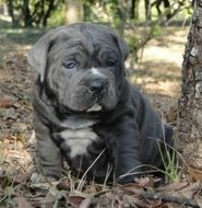 Black bulldog dog