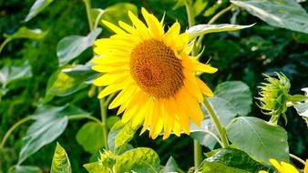 sunflower in early summer