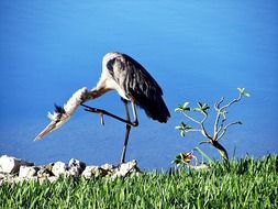 blue heron on the one foot