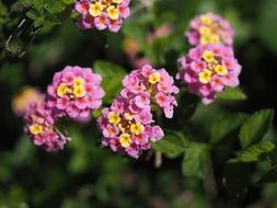 Flowers lantana with green leaves