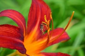 red-orange lily on a green background