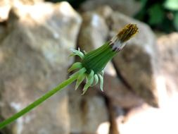 dandelion bud on a background of stones