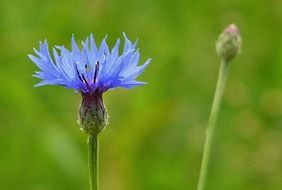 picture of the blue cornflower