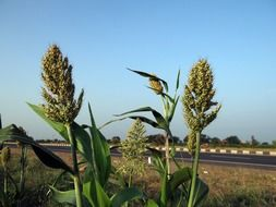 sorghum plants in karnataka