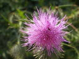 pink fluffy thistle