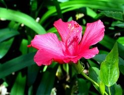 pink hibiscus flower in the park