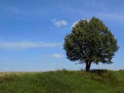 lonely tree on a summer meadow