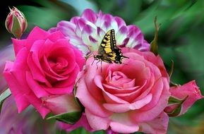 butterfly on pink rose, collage