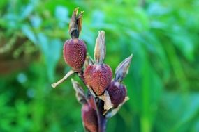 bulbous canna seeds red brown agriculture