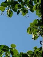 seeds and leaves of linden tree on the background of the sunny sky