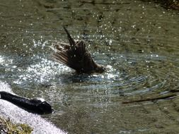wild bird bathing in the water
