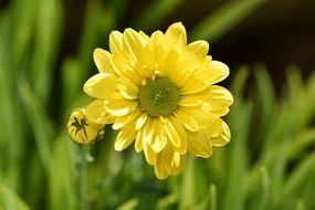yellow daisy flower and bud