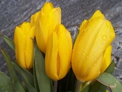 bouquet of yellow tulips in water drops