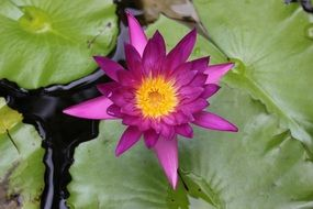 Purple lotus flower on the pond