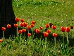 red tulips on the green grass in the park