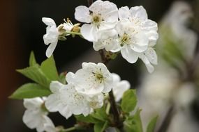 white cherry blossom closeup