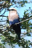 blue-bellied roller on a branch