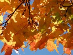 golden autumn maple leaves
