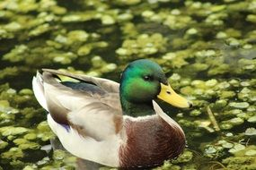 duck swims in a flowering pond