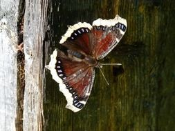 brown butterfly with a white rim on a wooden surface