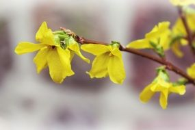 forsythia yellow bush spring