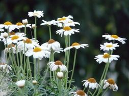 white daisies on a background of green plants