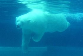 Polar bear is swimming in the water