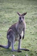 gray kangaroo on a green field in Australia