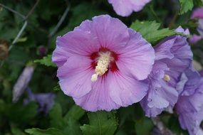 pale purple hibiscus blossoms