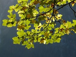leaves of the mountain maple against the sky