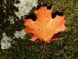 Beautiful colorful maple leaf in autumn
