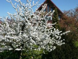 flowering cherry tree in front of the farmhouse
