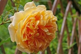 side view Orange Alpine Rose