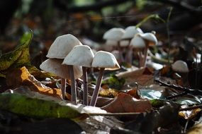 autumn mushrooms among the dry leaves