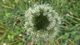 wild carrot green seeds