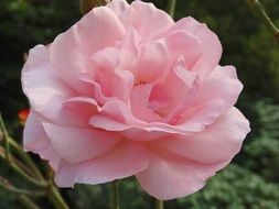 pale pink rose flower