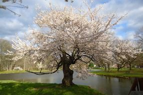 beautiful cherry tree in the park