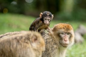 barbary ape family