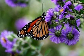 monarch butterfly and purple flower blossom