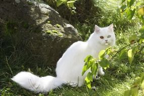 White domestic cat sitting on the green grass